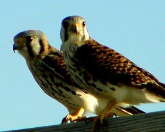 Falcons..